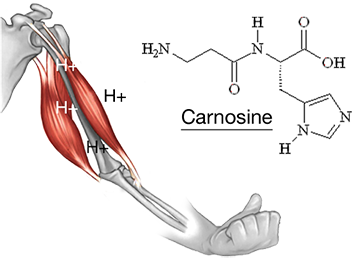 physiological-arm-right-alanine.png.2d8212bb92f2a96bd20dce04681d59fb.png